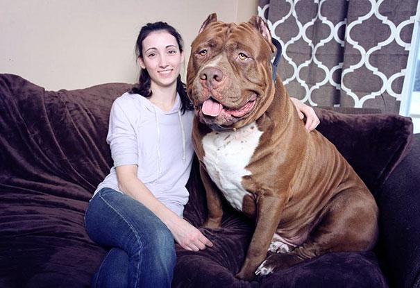 world-biggest-pitbull-the-hulk-dark-dynasty-k9-12