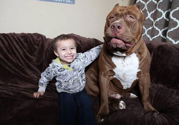 world-biggest-pitbull-the-hulk-dark-dynasty-k9-14
