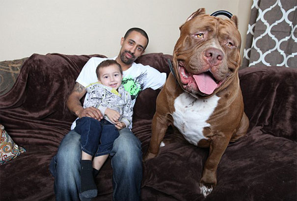 world-biggest-pitbull-the-hulk-dark-dynasty-k9-5