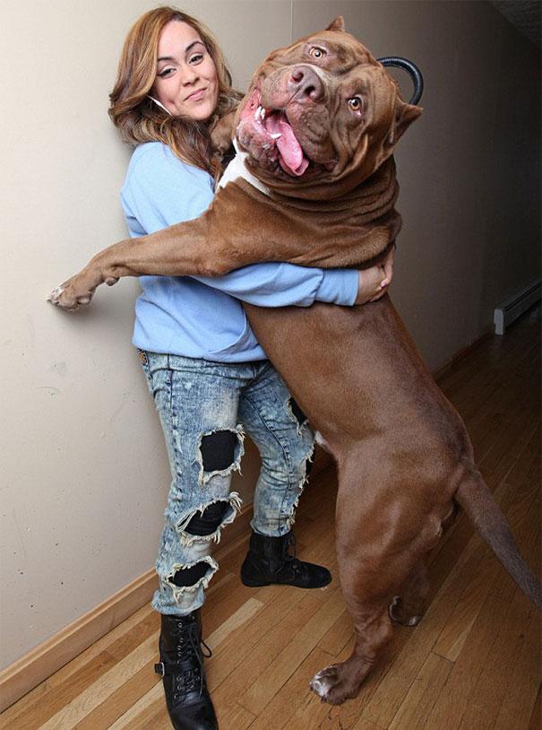 world-biggest-pitbull-the-hulk-dark-dynasty-k9-7