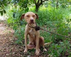 Chained Up Pit Bull Never Stopped Protecting Her Secret – Even Though She Was Tied To A Tree