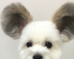 This Puppy Has Mickey Mouse Ears, And There Are Photos To Prove It