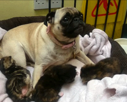 Pug Took In Kittens – Who Were Abandoned In A Stairwell