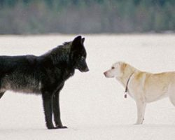 How An Unexpected Friendship With A Wolf Transformed A Whole Town