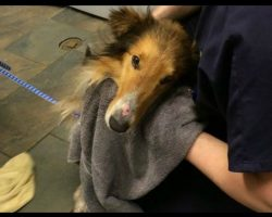 Collie Is Found Abandoned By Railroad Tracks, Rescuers Get Closer And See Horrifying Truth