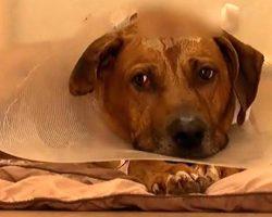 Friendly Dog Survives Being Shot In Head By Burglars