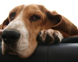 14 Signs You're A Basset Hound