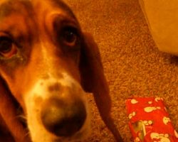 Basset Hound Confused About Christmas Present