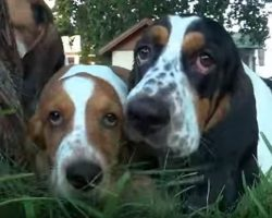 Basset Hound Pups Play in the Yard