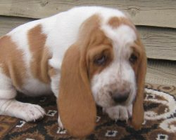 6 Cool Facts About Basset Hounds