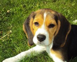 13 Things Only True Beagle People Understand