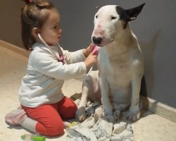 Little Girl Plays Doctor With Patient Bull Terrier