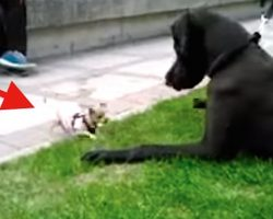 Fearless Chihuahua Takes On Great Dane In The Most Endearing Play Fight Ever