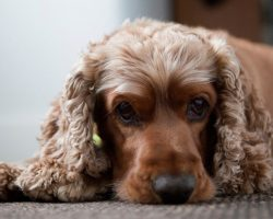 17 Reasons Cocker Spaniels Are The Worst Dogs To Live With