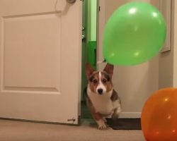Corgi Has Best Reaction To His Surprise Birthday Party