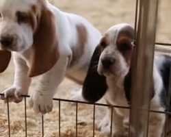 Pudgy Basset Hounds Explore the World