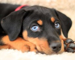 12 Reasons Why You Should Stay Away From Doberman Pinschers