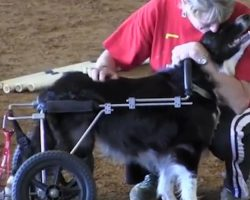 Border Collie With Wheelchair Participates In Agility And Inspires Others To Overcome Life's Challenges