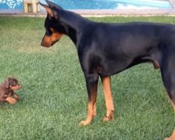 Precious Puppy Challenges Doberman Dog