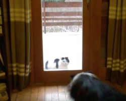 Clever Border Collie Plays Doorman For The Cat