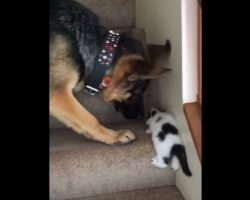 Dog Watches As Kitten Struggles To Climb Up The Stairs, And Decides He Has To Help