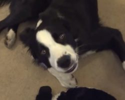 Funny Dog Loves His Toy So Much He Sings Whenever He Plays With It