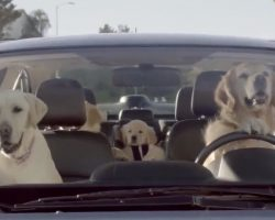 Here's What Would Happen If Dogs Could Drive. Wait For The Poodle!