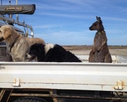 Family Rescues An Orphaned Baby Kangaroo And Now He Thinks He's A Dog