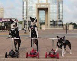 Elite Boston Terriers Gang of Bikers in their custom Leather Jackets