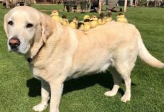 Gentle Labrador Decides To Be A Dad To Some Orphaned Ducklings