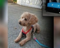 Friendly Poodle Found Locked In Suitcase And Abandoned In Ditch