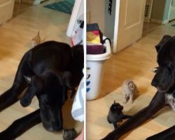 Curious Giant Great Dane Adorably Confused When He Meets A Litter Of Kittens