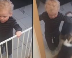 Toddler Helps Get Four Very Polite Corgis Their Dinner