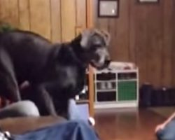 Great Dane Intimidated By Tiny Visitor
