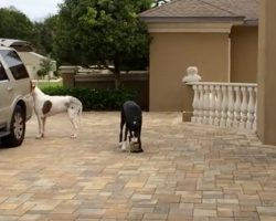 These Great Danes Are Eager to Help Out With A Human Errand. But One of Them Needs Practice…