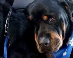 Grieving Rottweiler Cries Over His Deceased Twin Brother