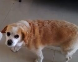 Guilty Dog Gets Caught, *Hilariously* Walks Away In Shame. I Can't Stop Laughing!