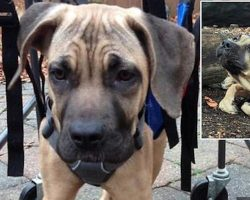 Mastiff Mix Puppy Found Unable to Walk Takes Inspiring First Steps