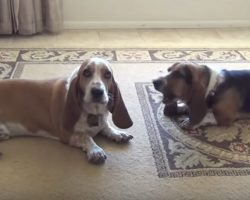 Two Basset Hounds Howl While Cat Remains Bored