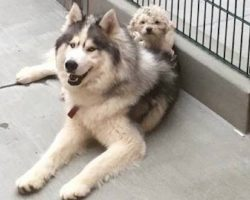 Husky And Poodle Found Wandering The Streets Are The 'Most Adorable Mismatched Duo' Ever