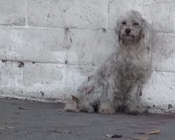 Homeless Poodle Just Realized She's Being Rescued And Has Sweetest Reaction
