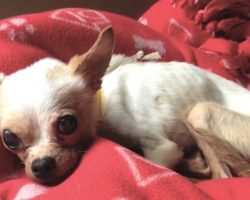 Tiny Stray Dog Too Sick To Even Sit Up Refuses To Give Up