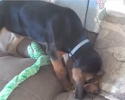 12 Week Old Bloodhound Puppy Shows How Flexible He Can Be
