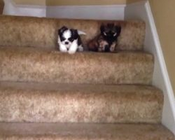 Puppies' First Time Using The Stairs Is A Family Affair