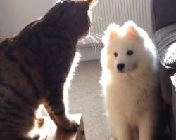 Samoyed Puppy Wants To Be Friends With Cat