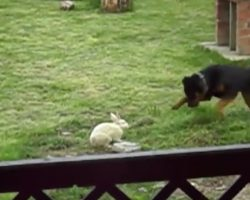 Rottweiler Runs Into Backyard To Play With Bunny Rabbit