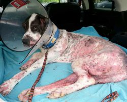Rescuers Thought Great Dane Was Neglected By Her Family, But Were Shocked To Learn Vets To Blame