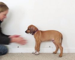 Fun Time-Lapse Shows Rhodesian Ridgeback Grow From Puppy To Adult