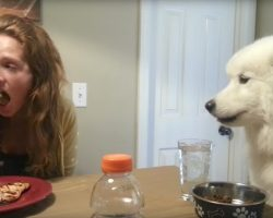 Samoyed Has The Most Excellent Table Manners