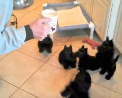 Scottish Terrier Puppies Do The Cutest Thing When They Drink Milk